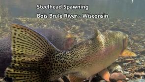 spawning steelhead
