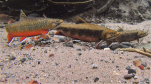 Brook trout on a redd
