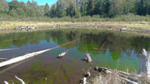 Beaupre Springs pond restored to historical level (note submerged logs)