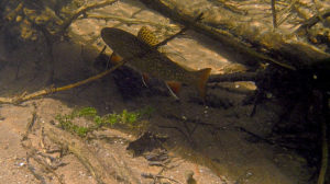 Brook trout under cover