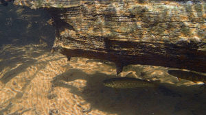 Brook and brown trout under log