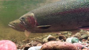 Steelhead pair ready to spawn