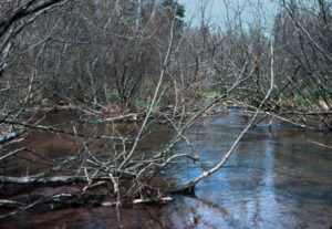 Stream degraded by tipped alder in 1979
