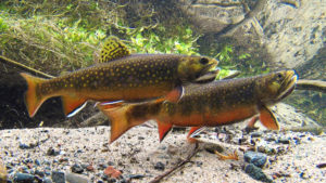 Male brook trout sparring over spawning habitat