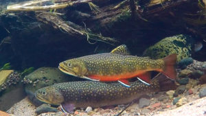 Brook trout pairing up to spawn